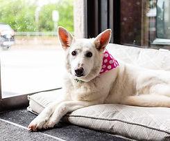Beautiful senior shop dog and company mascot Ava the white German Shepherd