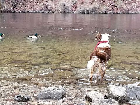 Australian Shepherd at Pond