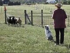 aussie in the farm