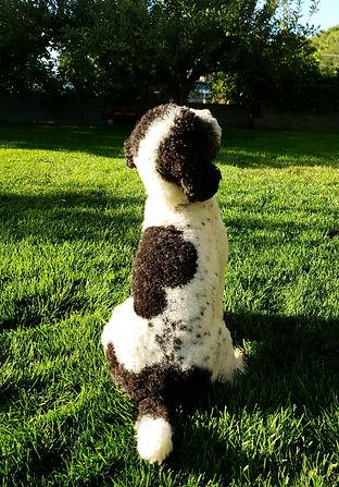 poodle outside
