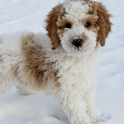 poodle in the snow