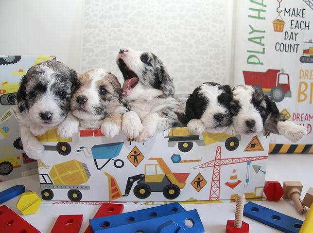 mini aussiedoodle puppies