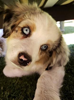 australian shepherd blue eyes