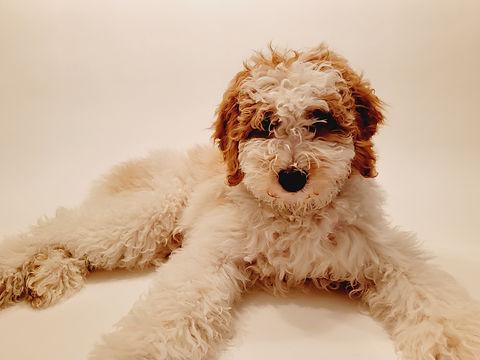 moyen poodle white and gold