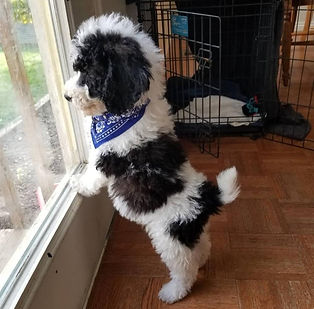 black and white poodle in the window