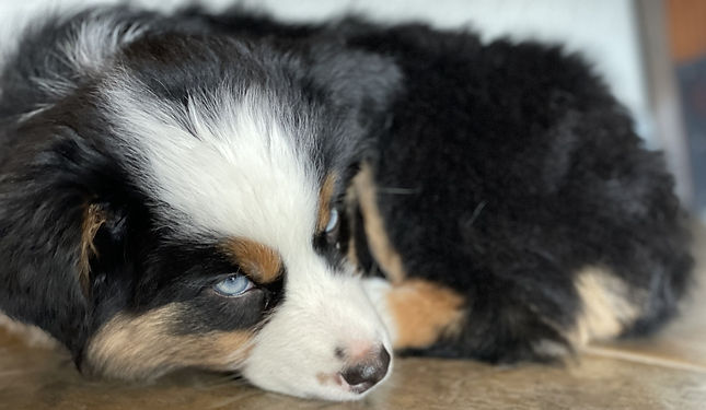 aussie puppy napping