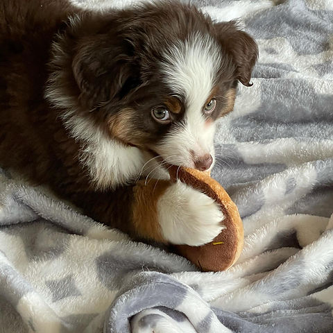 mini aussie on blanket