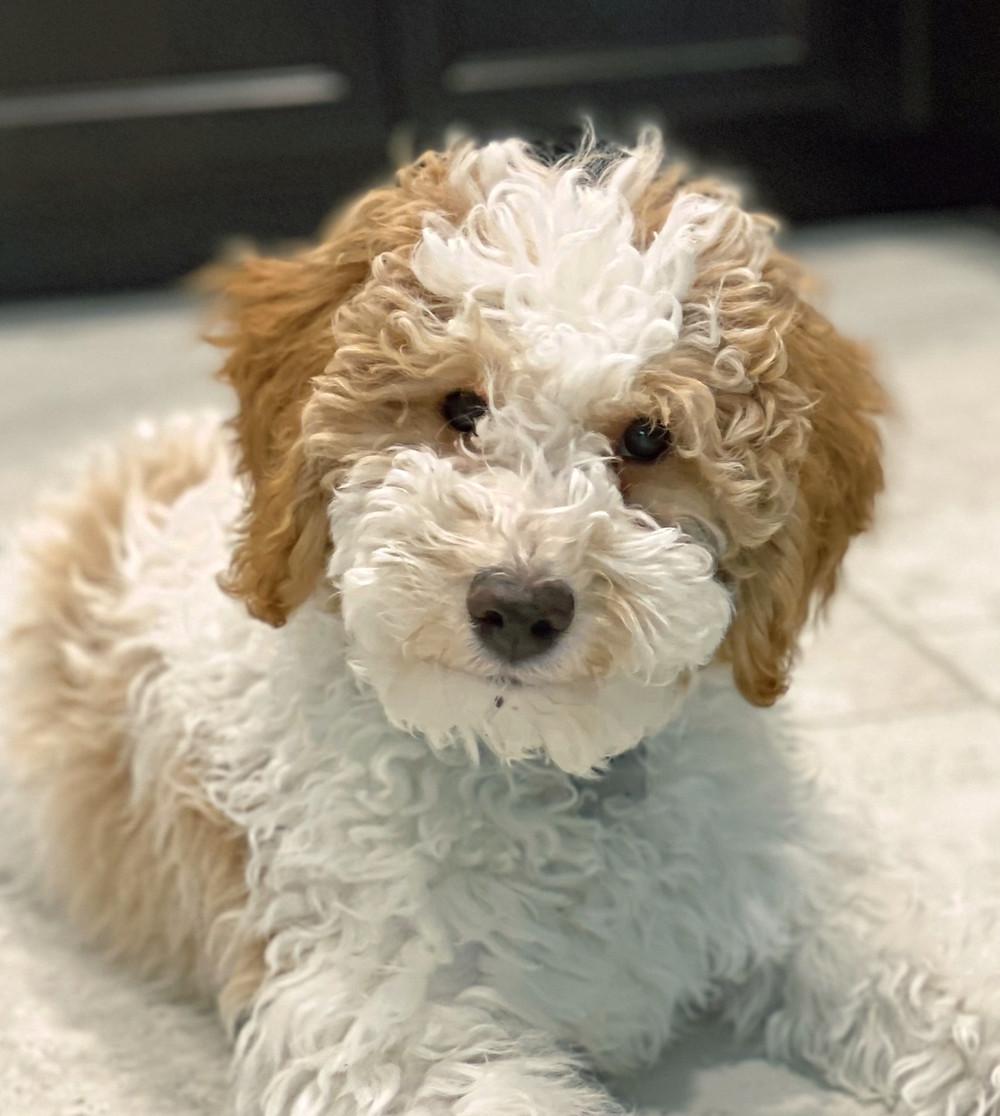 Our Poodle Puppy Nixon
