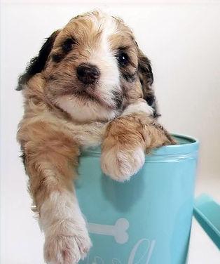 merle mini aussiedoodle puppy
