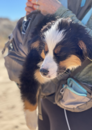 Tired Australian Shepherd Puppy