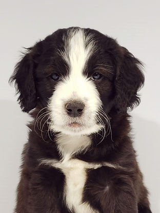 mini aussie doodle puppy