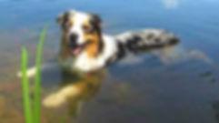 australian shepherd in water