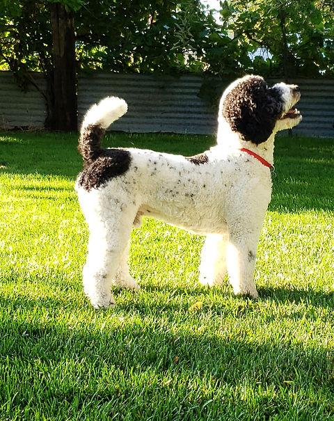 moyen sized poodle