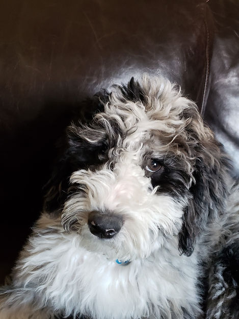 mini aussiedoodle puppy