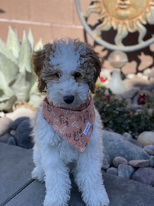 moyen poodle with bandana