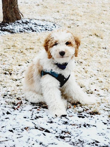 Our poodle Nixon