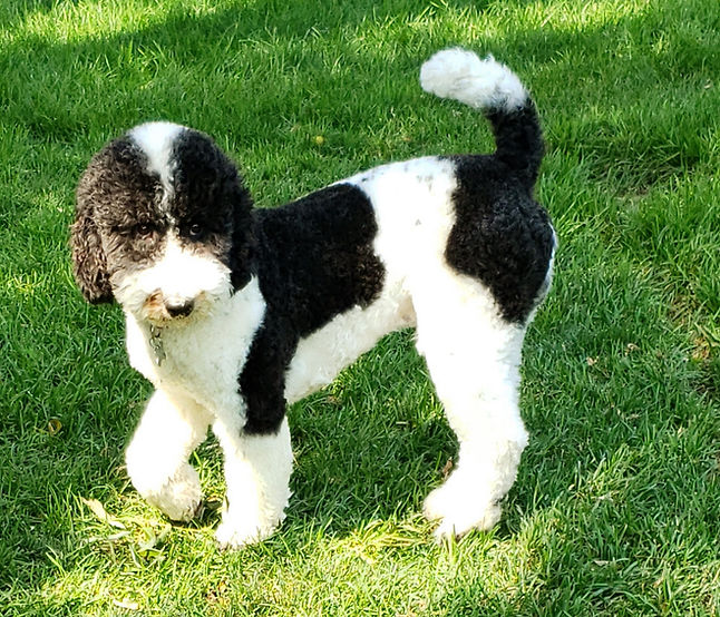 poodle in the grass