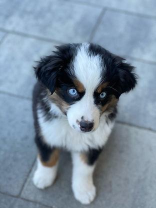 aussie puppy blue eyes