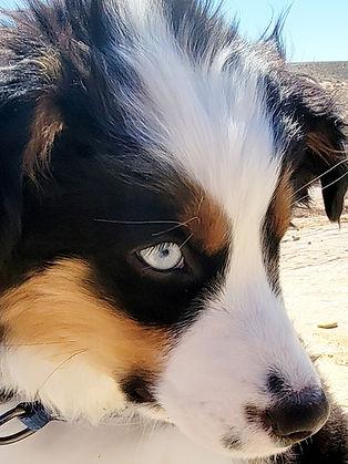 australian shepherd puppy blue eyes