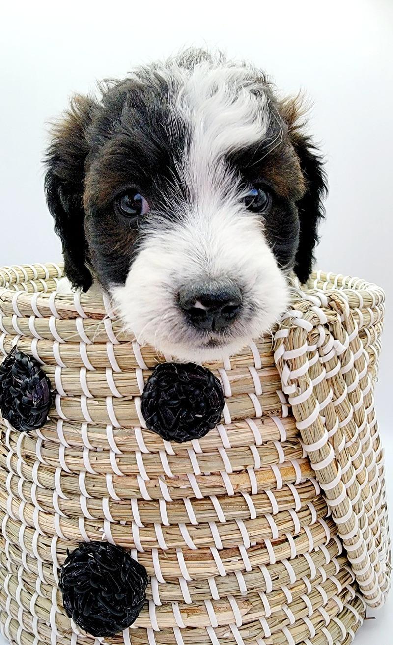 Aussiedoodle, Aussiepoo, Australian Shepherd, Poodle, aussie doodle, doodle dog, colorado, nevada, united states, puppies for sale, aussiedoodles for sale