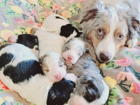 Special Delivery: Harper's First Litter