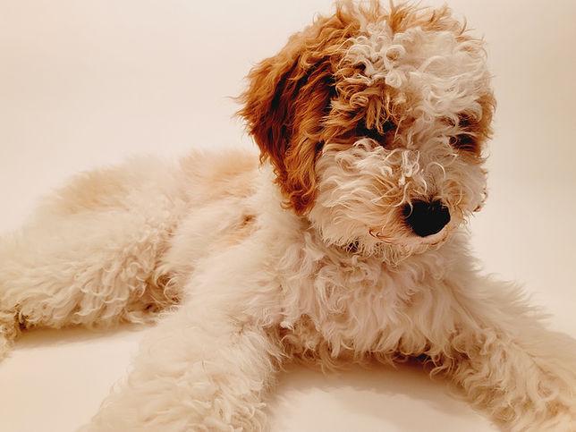 moyen poodle brown and white