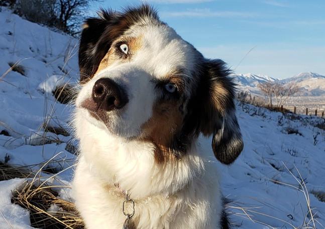 Our Australian Shepherd Riley