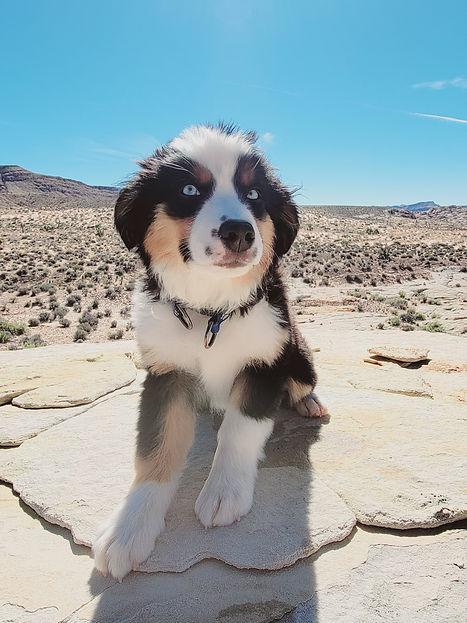 aussiedoodle puppy mom