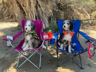 FIne and Dandy Aussiedoodle Puppies