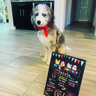 Mini Aussiedoodle Puppy Birthday