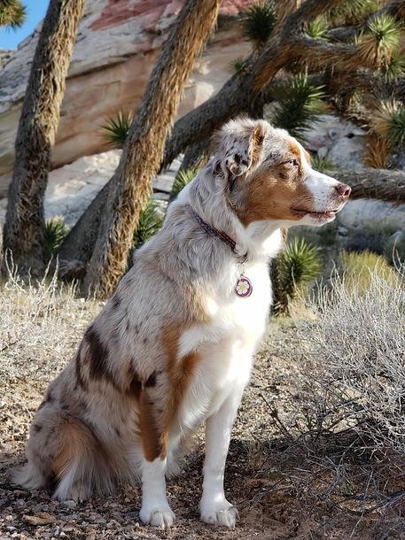 australian shepherd puppy breeder