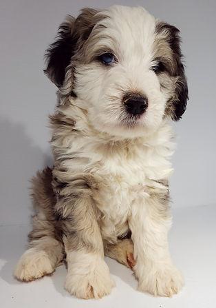 Aussiedoodle mini puppy