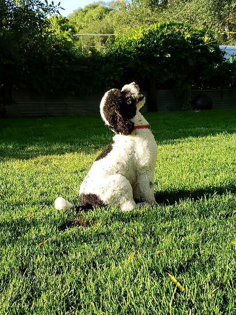 moyen sized poodle stud