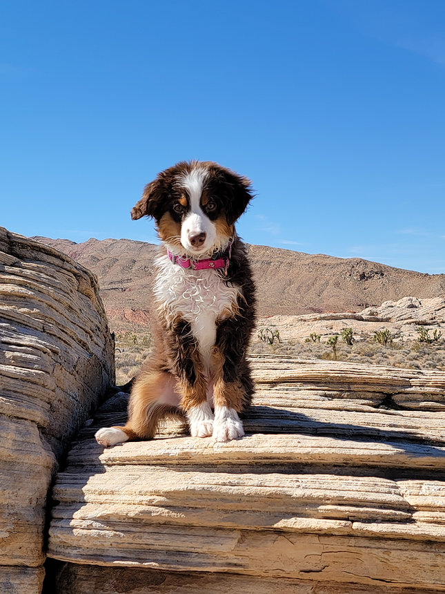 australian shepherd on rocks