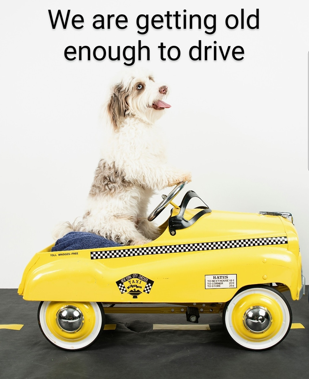 mini aussiedoodle puppy driving a play car
