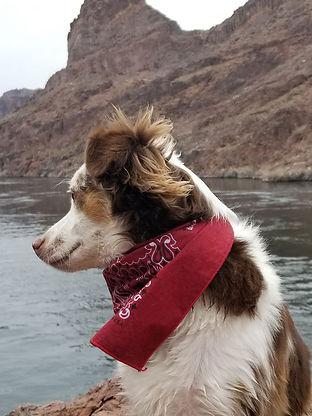 australian shepherd at the pond