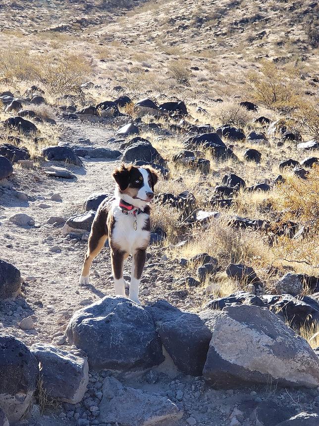 aussie puppy on a hike