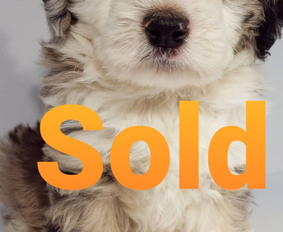 All puppies are sold to their new humans.