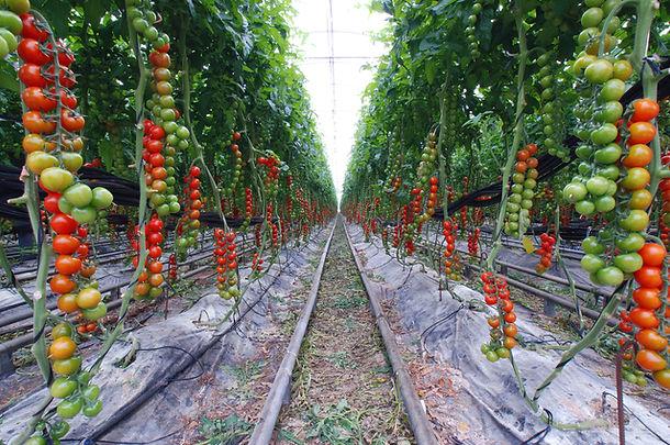 tomatoes-1057416-639x423.jpg
