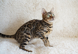 Brown(black)spotted tabby