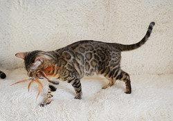 Black spotted tabby