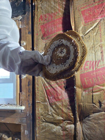 A large Yellowjacket nest recently removed from a Shelby area restaurant.