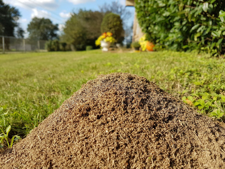 Dealing With Fire Ants In Your Yard