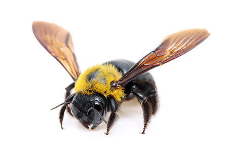 Spring Carpenter Bees - What To Do?