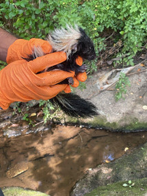 Technician Alex Avila was able to relocate some struggling baby skunks to a safer area for wildlife.
