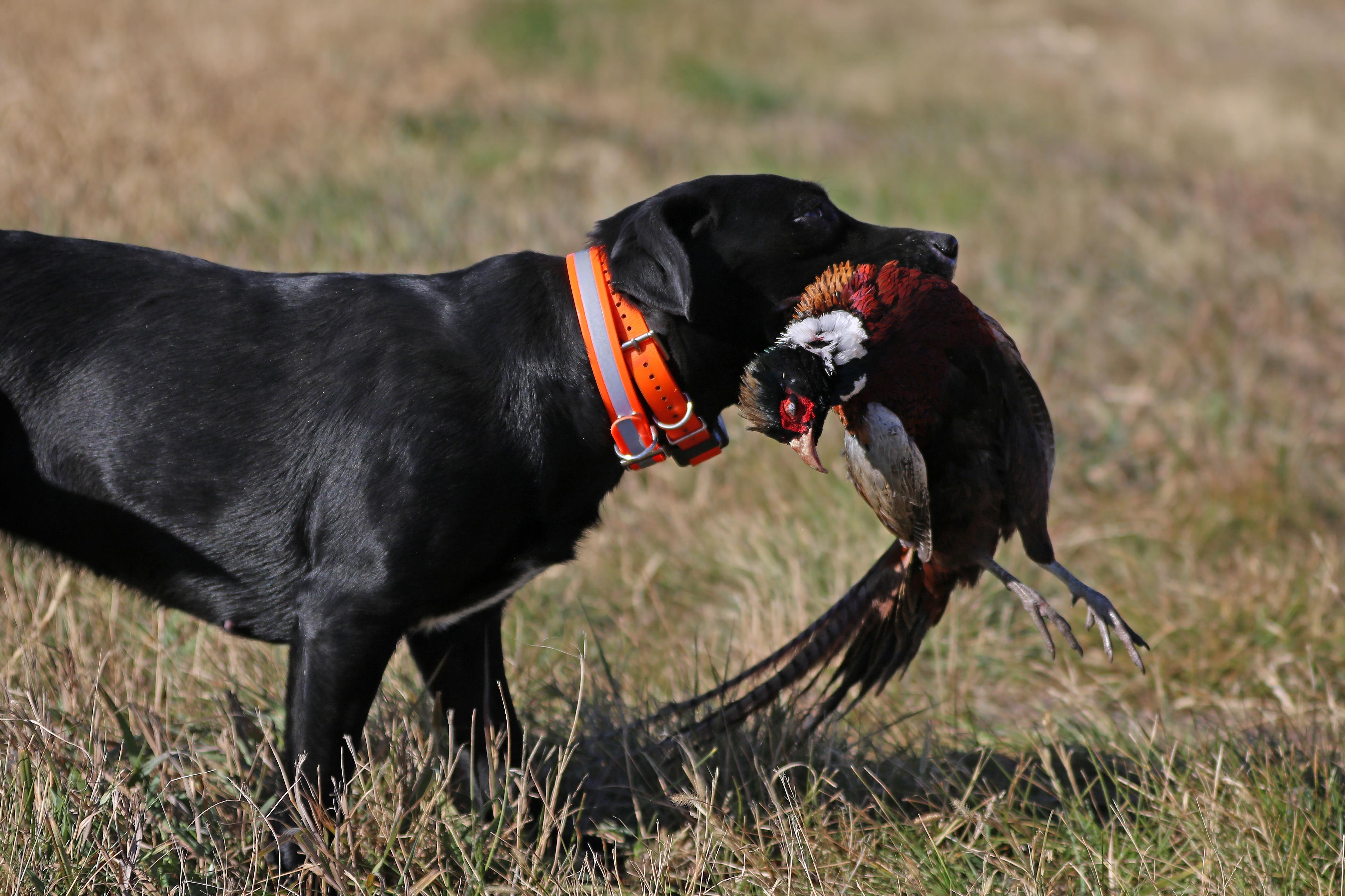 Hunting, pheasant, south dakota