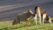 Coyote biting dog (2).png