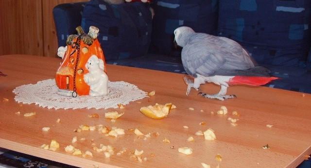 Graupapagein Pino hat Apfel gefressen