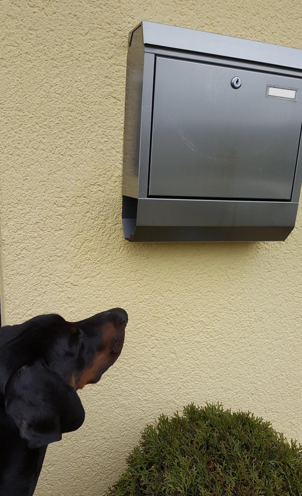 Dobermann Tyson schaut Briefkasten an