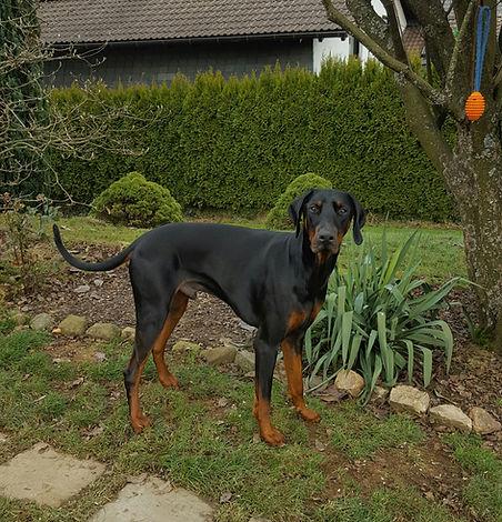 Dobermann Tyson im Garten